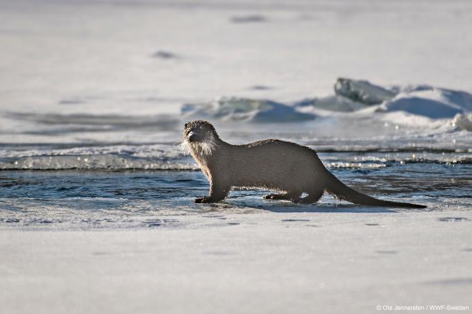 WWF loutre otter gallery4
